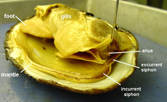 Image result for clam anatomy