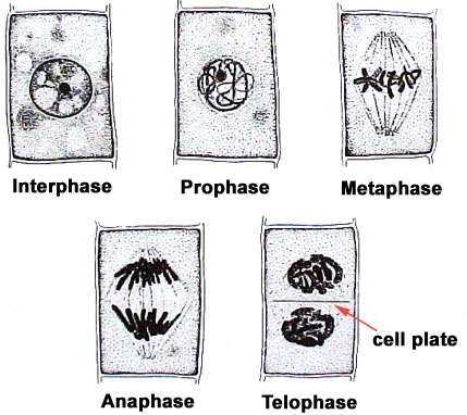 how to remember prophase metaphase anaphase and telophase