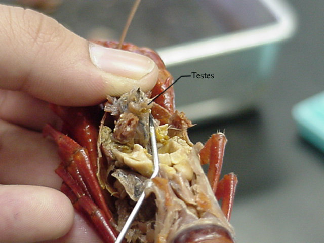 New page 1 image result for testis of crayfish ccuart Choice Image