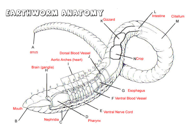 earthworm diagram with labeled parts